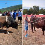 """Tradicionalni sajam bikova u Šestanovcu: """"Borbe bikova neće biti jedino što će posjetitelji moći vidjeti"""""""